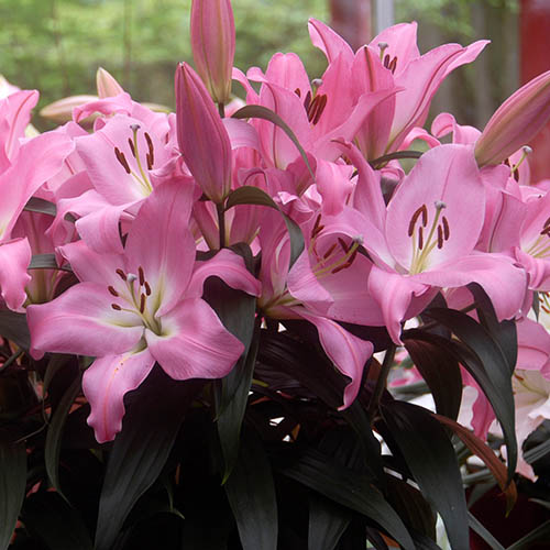 LILY ORIENTAL TABLE DANCE 2/3