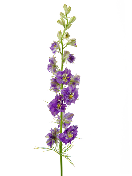 LARKSPUR PURPLE