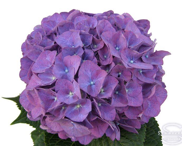Hydrangea Rodeo Purple
