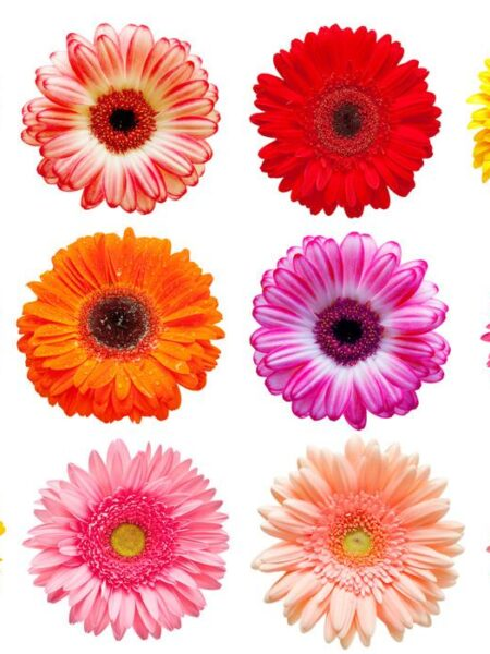 GERBERA ASSORTED