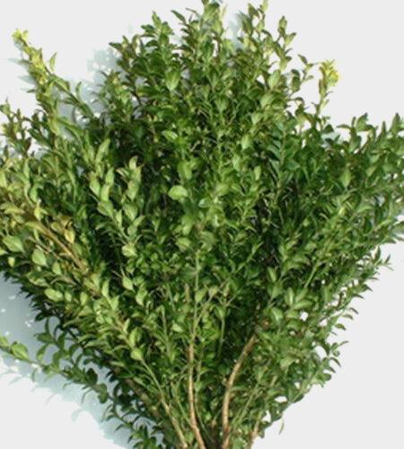 OREGONIA GREEN 500g