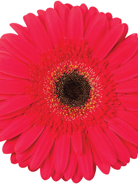 GERBERA FIVE STAR