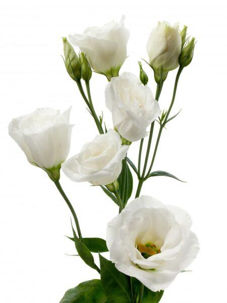 LISIANTHUS DOUBLE WHITE