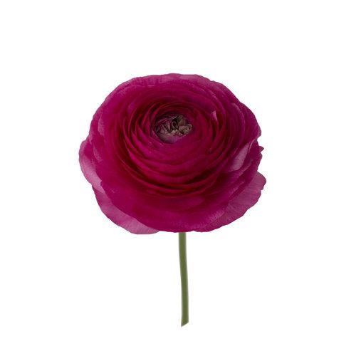 Ranunculus Hot Pink