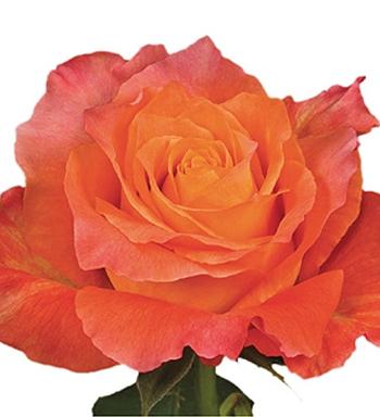 ROSE FREE SPIRIT