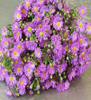 ASTER MONTE CASINO PURPLE