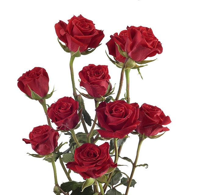 ROSE SPRAY RED MIKADO