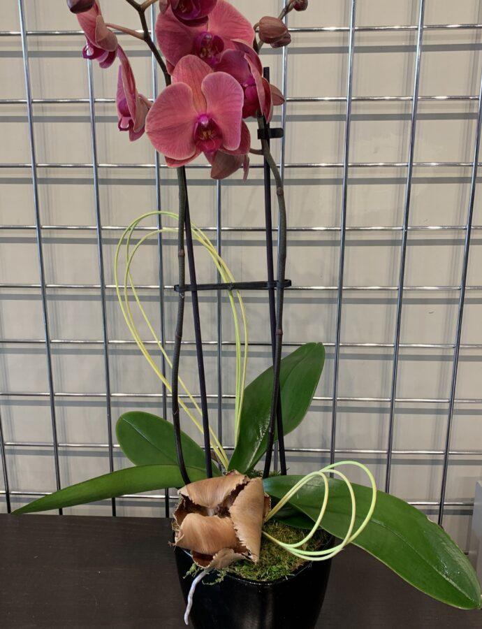 Phalaenopsis Planter Novelty