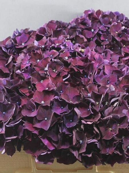 Hydrangea Magical Ruby Red Paars