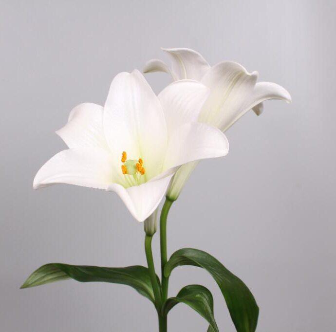 Lily longiflorum Watch Up