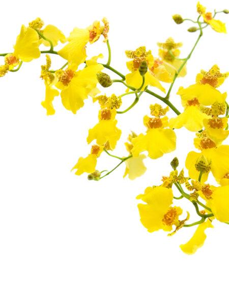 Oncidium Yellow 100cm