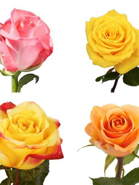 Rose 50 cm Assorted