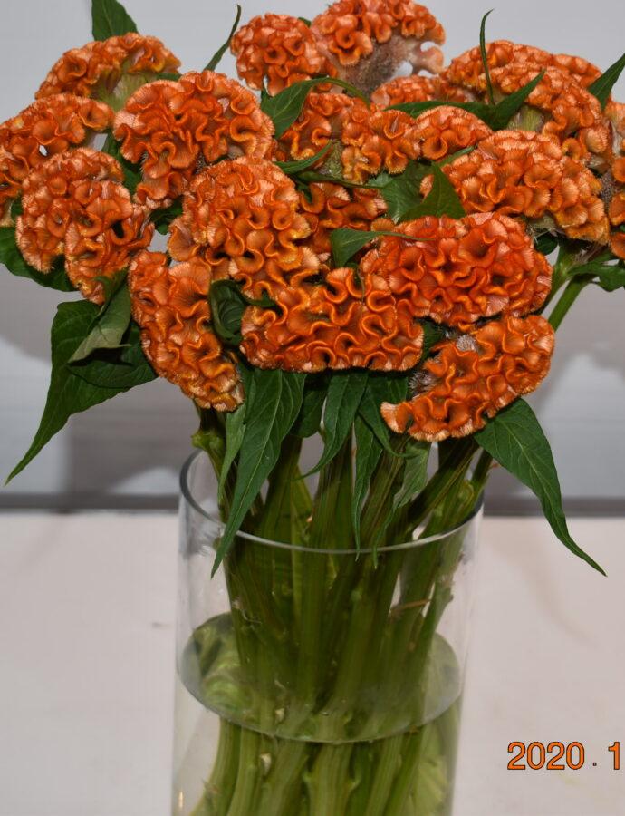 Celosia Orange Fan