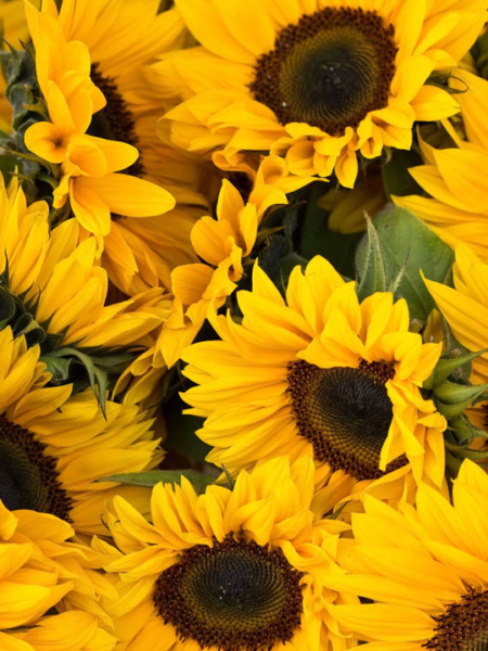 SUNFLOWER ASSORTED