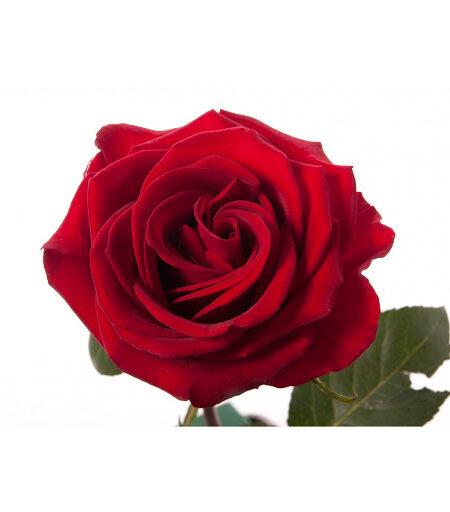 Rose Explorer 100cm
