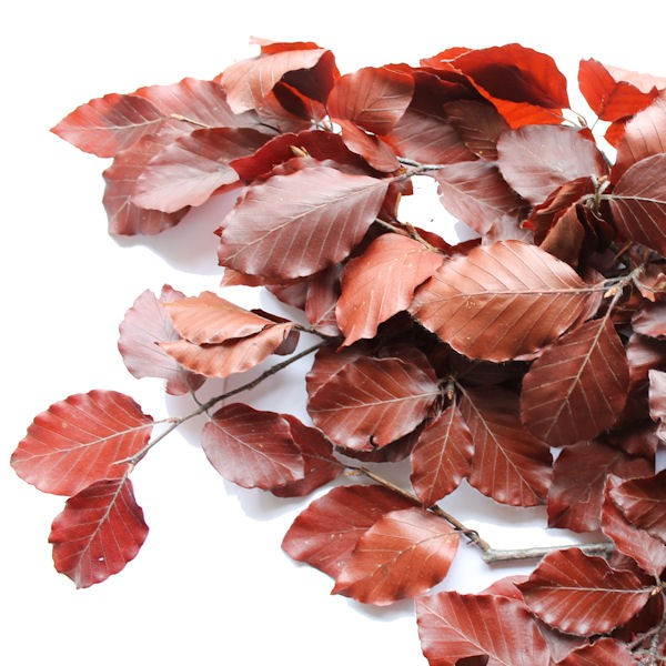 BEECH LEAVES PRESERVED BROWN 250g