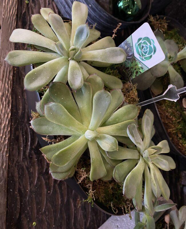 Mixed Succulents 2