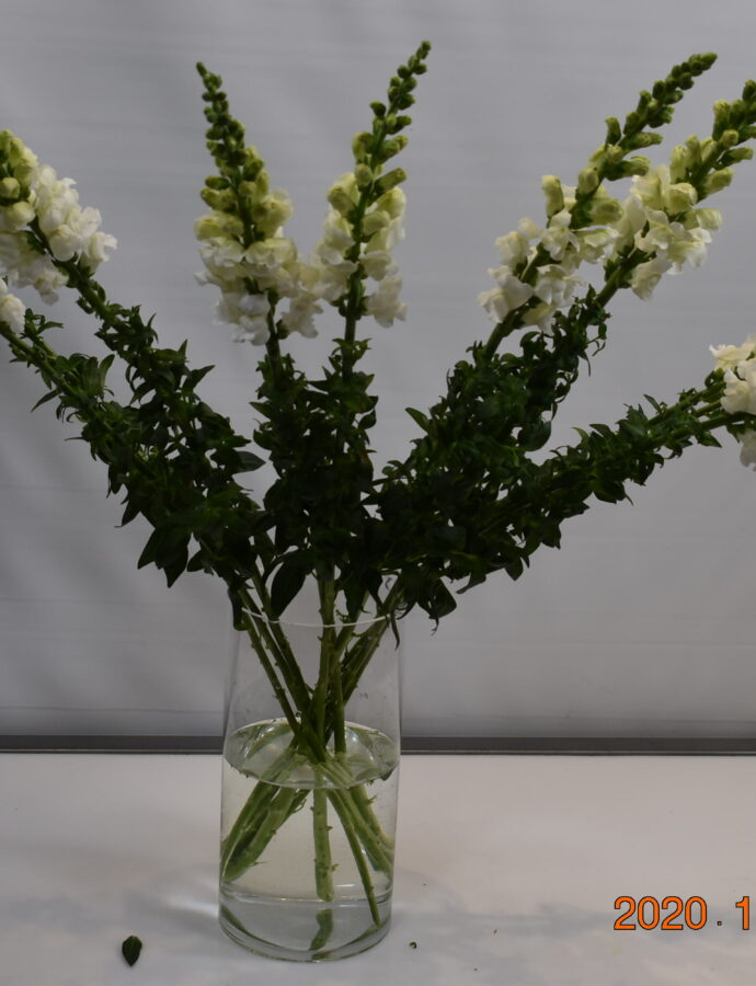 SNAPDRAGON WHITE LONG