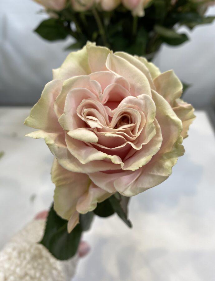 ROSE PINK MONDIAL