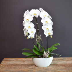 Double Orchid Beauty