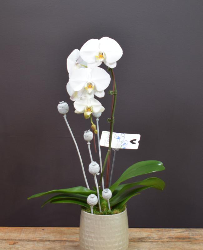 Peaceful Beauty Single Orchid